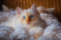 Dragon's nest (FocusPocus Photography) Tags: tofu dragon katze kater cat chat gato tier animal haustier pet decke blanket weich soft weiss white
