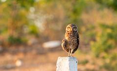 Caboré (Karl Max Fernandes) Tags: owl cabore ceara ceará jaguaribe brazil wild life photography fotografos do brasil fotos