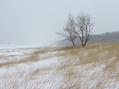 012560 If I Were A Tree... (David G. Hoffman) Tags: winter lake lakeshore lakemichigan beach beachgrass tree wind ice