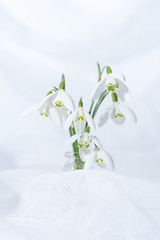 32/365 No Snow here but we do have Snowdrops (belincs) Tags: highkey indoors flash flower lincolnshire 365 snowdrops 2019 uk oneaday 365the2019edition 3652019 day32365 01feb19 february