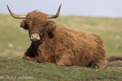 Highland Coo (rjonsen) Tags: cow cattle animal field horn tusks depth dof windy scotland alba grass