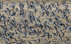 (seua_yai) Tags: northamerica california sanfrancisco thecity oceanbeach birds seuayai sanfrancisco2018