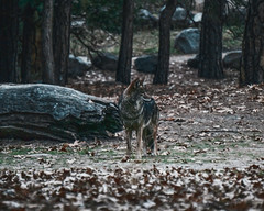 Coyote in Yosemite (alemonsqueeze) Tags: coyote animal forest yosemite wildlife