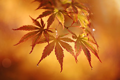 Japanese Maple (lfeng1014) Tags: japanesemaple mapleleaves mapletrees autumncolours autumn autumnleaves redmaple autumnmaple maple macro macrophotography dof depthoffield raindrops droplets light closeup bokeh lifeng