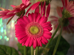 Sparkle 35mm (LETS BE CANDID) Tags: sears35mm28m42 pentaxk1 pink green light bokeh flower flowers fullframe m42 macro macrotubes m42mount texas sanantonio screwmount
