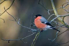 Bullfinch (JS_71) Tags: nature wildlife nikon photography outdoor 500mm bird new autumn see natur pose moment outside animal flickr colour poland sunshine beak feather nikkor