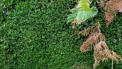 20171101_160347 [ps] - Interruption (Anyhoo) Tags: anyhoo photobyanyhoo england uk hydonsball hambledon surrey hedge privet trimmed bracken interloper