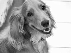 (drthmiranda) Tags: dogs blackandwhite pets dog cachorro pet animals animais animalportraits