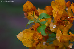 Green & Gold (leendert3) Tags: leonmolenaar southafrica nature flowers phalaborwa naturethroughthelens coth5