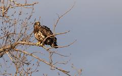 Juvenile Bald Eagle (Lynn Tweedie) Tags: loessbluffsconservationarea baldeagle 7dmarkii tree canon bird tail sky sigma150600mmf563dgoshsm eos missouri feathers animal