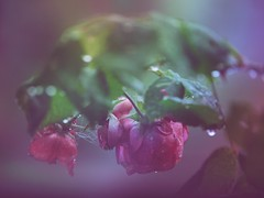 (Dreaming Diva) Tags: summer rain raindrops roses pink beauty green peaceful serenity outside