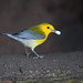 Prothonotary Warbler (Yamil Saenz) Tags: