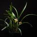 [Taiwan] Cymbidium ensifolium (L.) Sw., Nova Acta Regiae Soc. Sci. Upsal. 6: 77 (1799)