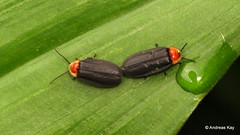 Fireflies mating, Photinus sp., Lampyridae (In Memoriam: Ecuador Megadiverso) Tags: amazon andreaskay beetle coleoptera ecuador firefly lampyridae mating photinussp rainforest roverfirefly tropic