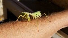 A friendly neighborhood Prayingmantis (orngejuglr) Tags: prayingmantis bug bugs green