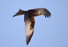 DSC_2288 Red Kite (PeaTJay) Tags: nikond750 tamron reading lowerearley berkshire outdoors nature birds birdsofprey redkite