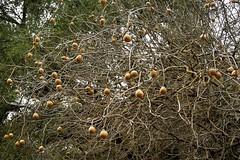 Good crop of buckeye nuts this year! (openspacer) Tags: aesculus buckeye nut ranchosanantonioopenspacepreserve santaclaracounty sapindaceae tree