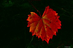 Fiery Red Color (surfcaster9) Tags: leaf red fall lumixg7 autumn
