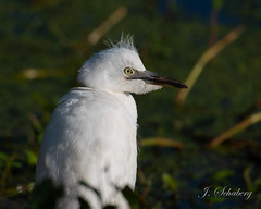 Serious Snowy (Birds and Other Cools Stuff!) Tags: egret bird birding ornithology feather bill beak white fluffy stare wild wildlife nationalgeographic fly flight pose