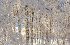 White birches (irene.holmen) Tags: trees birch birches forest winter snow light january white blue bjørk trær skog vinter vinterlys lys hvit snø norway
