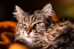 Winnie le chat (uluqui) Tags: canon 6d sigma 50mm cat animal portrait kitty lowkey mainecoon