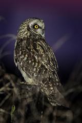 Short-eared Owl (Greg Lavaty Photography) Tags: shortearedowl asioflammeus texas january anahuac nationalwildliferefuge chamberscounty birdphotography outdoors bird nature wildlife