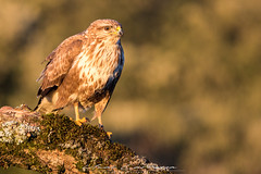 Lo bueno se hace de rogar (Fotografias Unai Larraya) Tags: animales aves ratonero fauna salvaje naturaleza ngc plumaje rapaces
