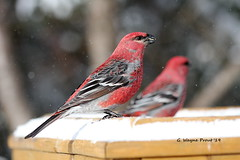 Pine Grosbeak (Pinicola enucleator) (Gerald (Wayne) Prout) Tags: pinegrosbeak pinicolaenucleator animalia aves chordata passeriformes fringillidae pinicola enucleator pine grosbeak bird birds animal animals songbirds perchingbirds wildlife nature herseylakeconservationarea cityoftimmins northeasternontario ontario canada prout geraldwayneprout canon canoneos60d eos 60d digital dslr camera canonlensef70300mmf456isusm lens ef70300mmf456isusm photographed photography herseylake conservation area hersey lake trails city timmins northeastern northernontario northern