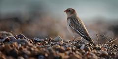 Snow Bunting....... (Gary-West Sussex) Tags: bird snowbunting beach shingle stones