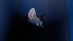 'Schrader's Mews' (Jonathan Casey) Tags: cat portrait tabby blue light nikon d850 sigma 135mm art