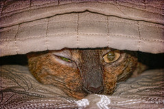 Sleepy Cat (jta1950) Tags: cat chat animal feline sleep eyes blanket zs100