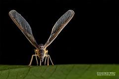 Derbid planthopper (Derbidae) - DSC_0585 (nickybay) Tags: singapore mandaitrack7 mandai macro backlighting derbidae derbid planthopper