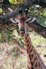 """Howzit?"" (thisbrokenwheel) Tags: africa lowersabie safari nature sabieriver wildernesspreserve krugerpark wildlifephotography wildlife travel mammal southafrica giraffe knp conservation sanparks reticulatedgiraffe"