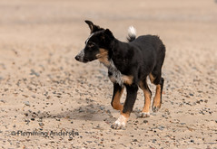 at beach (Flemming Andersen) Tags: portrait sand outside pet nature dog bordercollie outdoor frisbee hund animal