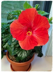 A Single Bloom of Beauty (Sun~Lover) Tags: hibiscus flower bloom red tea health benefits malvaceae family