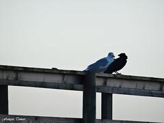 La mouette et le corbeau !!! (François Tomasi) Tags: corbeau mouette oiseau bird animal animaux françoistomasi yahoo google flickr fouras