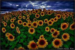 HIMAWARI... (SHADOWY HEAVEN Aya) Tags: 14091370s0062 風景写真 北海道 hokkaido 日本 ファインダー越しの私の世界 写真好きな人と繋がりたい 写真撮ってる人と繋がりたい 写真の奏でる私の世界 写真で伝えたい私の世界 coregraphy japan tokyocameraclub igers igersjp phosjapan picsjp 空 雲 dark outdoor landscape paysage cloud clouds sky flower flowers nature ひまわり 向日葵 ヒマワリ sunflower tournesol