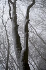 20190202-031 (sulamith.sallmann) Tags: landschaft pflanzen wetter baum botanik brandenburg buche buchenwaldgrumsin bäume deutschland europa laubbaum natur nebel nebelig pflanze schnee snow uckermark wald weltnaturerbe winter winterlich sulamithsallmann