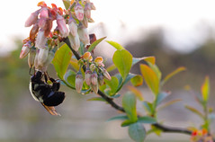 A bee pollinates a blueberry plant at the farm.