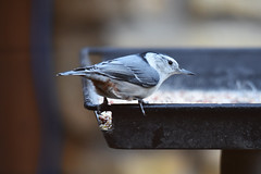 White-breasted nuthatch visiting a feeder (U.S. Fish and Wildlife Service - Midwest Region) Tags: minnesota mn november 2018 fall publicland animal wildlife fortsnelling statepark birding bird birdfeeder food eating