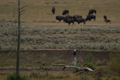 Bald Eagle (Samuel Raison) Tags: baldeagle rapace bird oiseau bison bisons buffalo buffalos wildlife nature nikon yellowstone yellowstonenationalpark yellowstonewildlife nikond800 nikon4600mmafsgvr