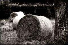 Poncé Sur Le Loir (Sarthe) (gondardphilippe) Tags: poncésurleloir sarthe maine paysdelaloire loir leloir noiretblanc noir nb blanc blackandwhite bw black white sepia arbre campagne champ extérieur field graphique landscape monochrome macro nature outdoor paysage quiet rural texture ruralité zen