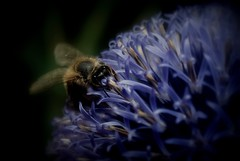 (Kaska Ppp) Tags: bee insect flower nature naturephotography macro macrophotography black blue