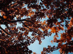 Bivins, TX (Zack Huggins) Tags: olympusomdem5markii olympusmzuiko45mmf18 vscofilm pack01 bivinstx easttexas behindthepinecurtain fall autumn fallcolor changingleaves postoaktree sky blue blueskies orange nature thanksgiving home homestead bokeh dof microfourthirds sunlight sunshine tree trees forest woods