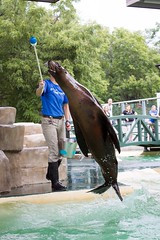 Sea Lion Show (boom_goes_the_canon) Tags: zoo iowa nature animal trick exhibit display show aquarium training behavior mammal blankparkzoo desmoines sealion