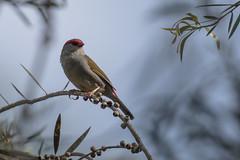 Red-browed finch (crispiks) Tags: redbrowedfinch wonga wetlands albury new south wales birdlife nikon d500 70200 f28