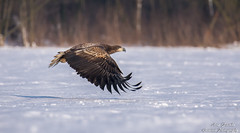 Der Seeadler (Haliaeetus albicilla)Poland-Wildlife©Arne Flemke (Arne Flemke-Gezeiten Photography) Tags: seeadler polen arne natur greifvögel