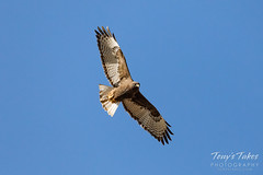 Harlan's Red Tailed Hawk in flight