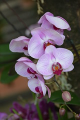 Orchids (Seventh Heaven Photography **) Tags: kuala lumpur orchid garden nikon d3200 orchids flowers plants flora blooms malaysia