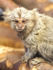 Fluffy (bruno_mesmin) Tags: ouistiti singe animal callithrix monkey marmouset marmoset